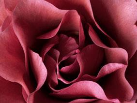 20060423132147-rose.jpg